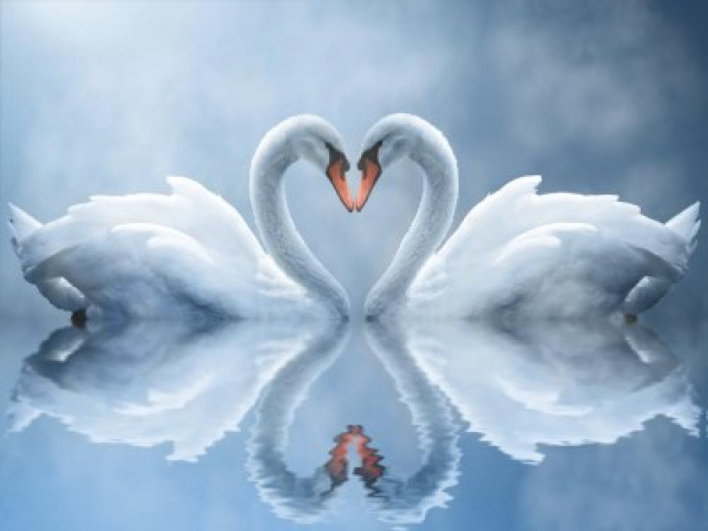 Swan Love Screensaver 1.0 (Freeware 2.46Mb)